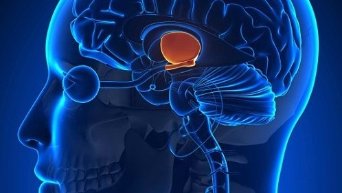 Hypothalamus-660x3_3590545b