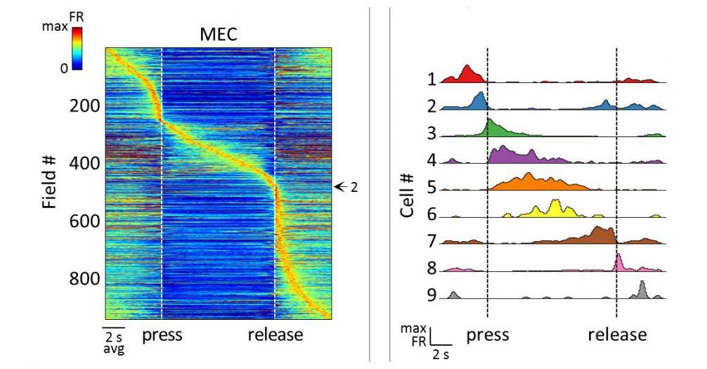 محققان پرینستون دریافتند که نورونها به ترتیب مطابق با فعالیتهای موشها ازجمله گوش دادن به اصوات و فشردن اهرم برای دریافت پاداش، شلیک میکنند. در بالا، نمودار سمت چپ فعالیت نورونی (به رنگ نارنجی) گروهی از نورونها را درطول چندین ثانیه که موشها در حال فشردن و رها کردن اهرمها در پاسخ به صدا هستند، نشان میدهد. نمودار سمت راست سلولهای انفرادی (از 1 تا 9 مشخص شدهاند) را نشان میدهد که بهمنظور بازنمایی فشردن و رها کردن اهرم، بهصورت متوالی شلیک میکنند.