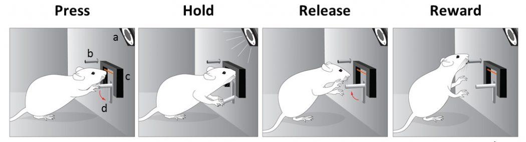 به موشها آموزش داده میشود که اهرم را فشرده و هنگامی که صدا به فرکانس مشخصی رسید، آن را رها کنند.