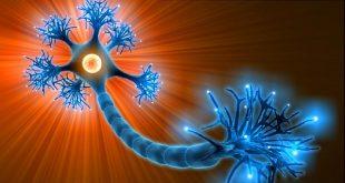 مغز انسان بالغ نورون جدید تولید نمیکند؟