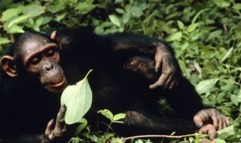 _83370213_z9120028-chimpanzee-spl