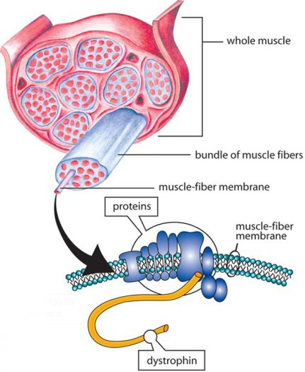 Duchenne Cell Diagram 2